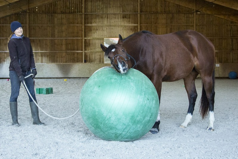 Gabi Neurohr colt starting - a very curious horse inspect the green ball with his trainer